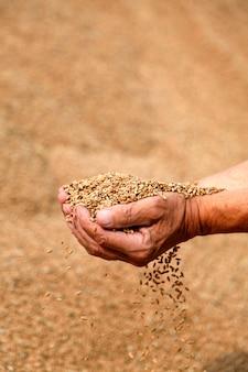 Pszenica i ręce starego rolnika