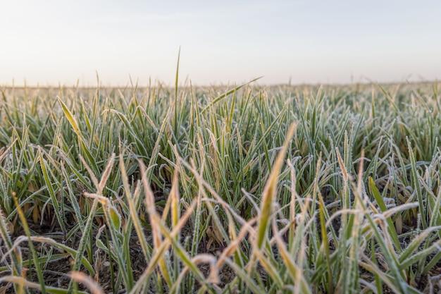 Pszenica lub żyto zasiane na zimę, zboża ozime zasiane na polu, sezon zimowy, trawa pokryta śniegiem i szronem