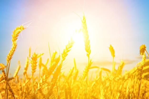 Pszenica o zachodzie słońca latem feld