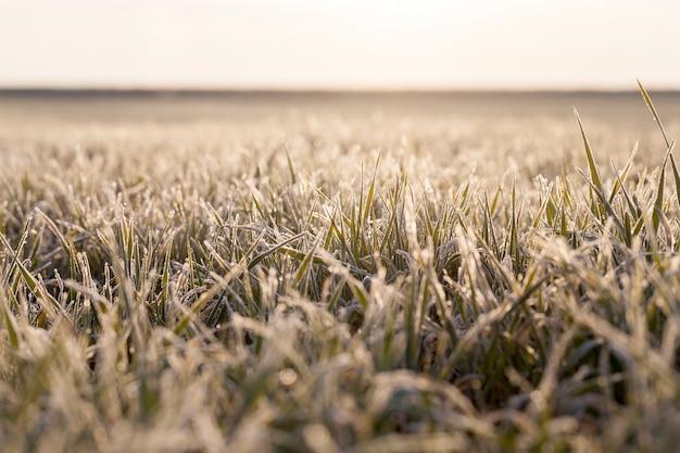 Pszenica ozima pokryta kryształkami lodu i szronem podczas zimowych przymrozków, wczesny zbiór zbóż