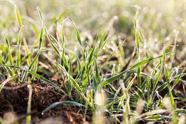 Pszenica ozima pokryta kryształkami lodu i szronem w zimie, zbliżenie na polach uprawnych w ciągu dnia podczas mrozów