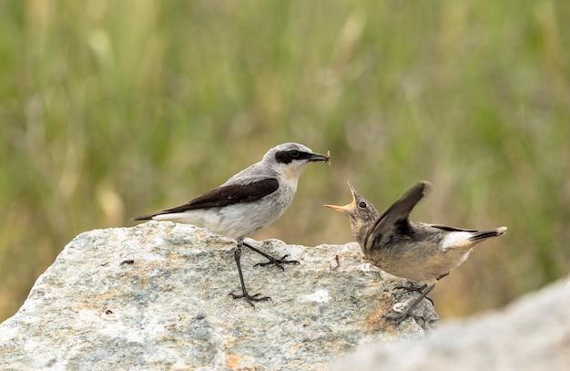 Pszenica północna, oenanthe oenanthe, ptak płci męskiej w upierzeniu lęgowym, zamierzający nakarmić swoje młode młode owady.