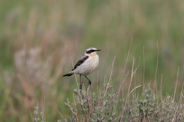Pszenica północna - samiec oenanthe oenanthe. w dziczy.