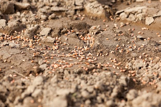 Pszenica przetworzona, zaczerwieniona, leżąca na ziemi w czasie siewu zbóż