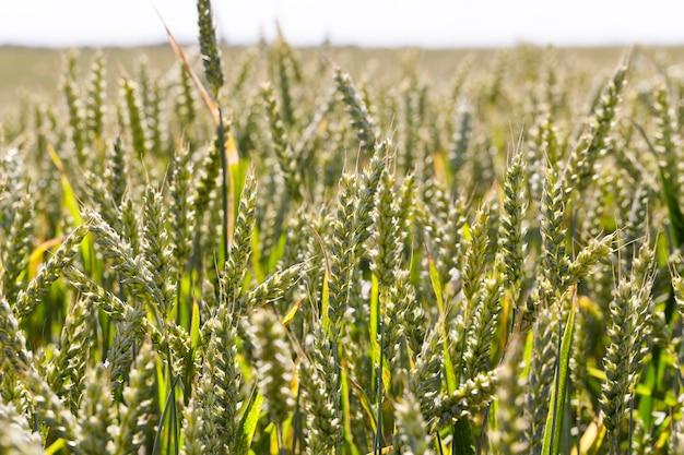 Pszenica rolna sfotografowany zbliżenie niedojrzałe zielone kłosy pszenicy rosnące na polach uprawnych