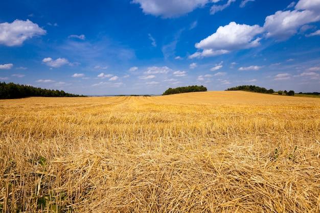 Pszenica skośna - pole uprawne, na którym przeszła firma żniwna pszenicy