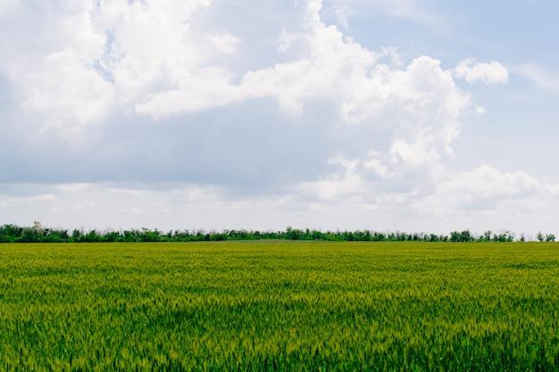 Pszenica spikelets gospodarstwo rolne krajobraz pola z błękitnym niebem