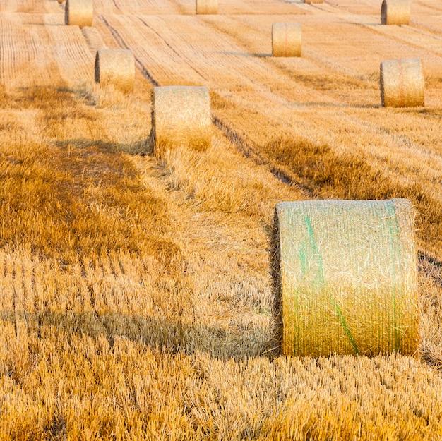 Pszenica stos w polu na farmie w pobliżu wioski. słomki pszenicy ułożone w rzędy