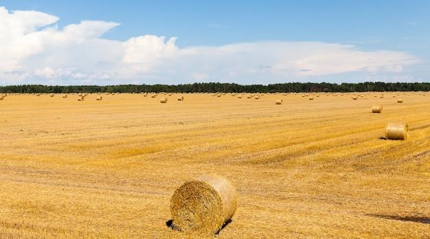 Pszenica szczecina na polu belami suchej, złocistej słomy pszenicznej, letni krajobraz słoneczna pogoda