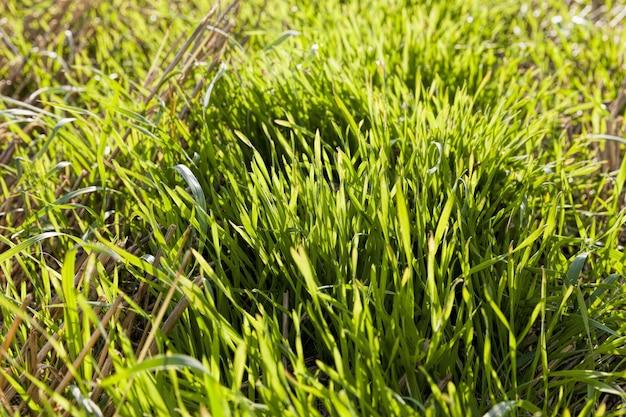 Pszenica zielona lub inne ziarno na gruntach rolnych uprawia się w celu produkcji plonów i zysków