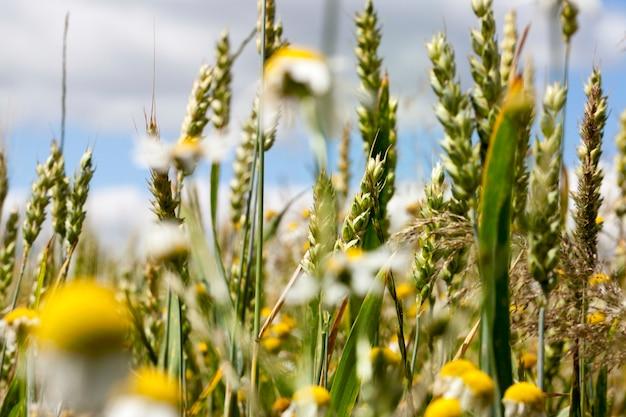 Pszenica zielona rośnie na jednym polu uprawnym oraz kwiaty rumianku i inne chwasty