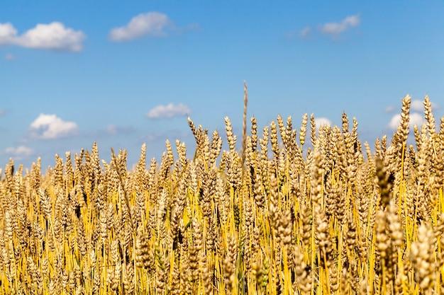 Pszenica złota na tle błękitnego nieba przed zbiorami