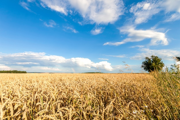 Pszeniczny pole z niebieskim niebem z słońcem i chmurami