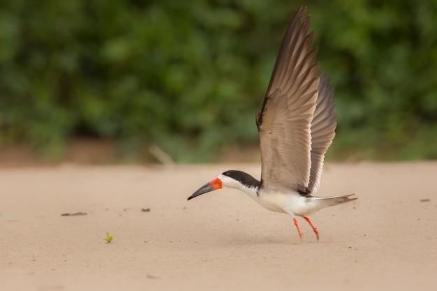 Ptak ameryki południowej w naturalnym środowisku