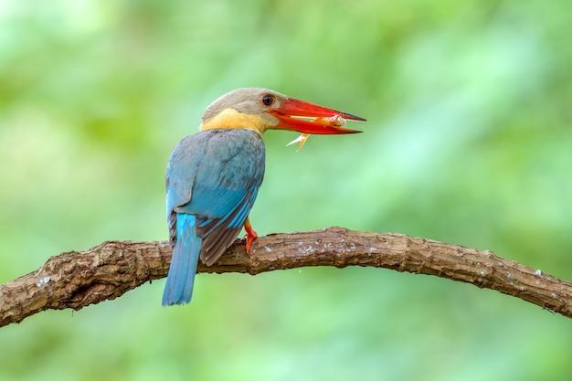 Ptak (bocian wystawiający rachunek zimorodek), tajlandia