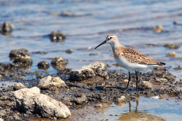 Ptak brodziec calidris ferruginea, spacer po płytkiej wodzie.
