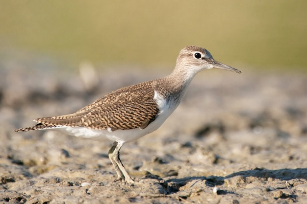 Ptak brodziec pospolity actitis hypoleucos.