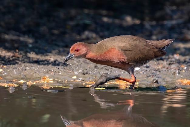 Ptak derkacz szuka pożywienia na bagnach