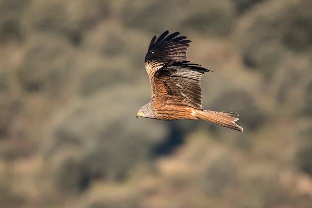 Ptak drapieżny czerwona latawiec w locie z zamazanym tłem