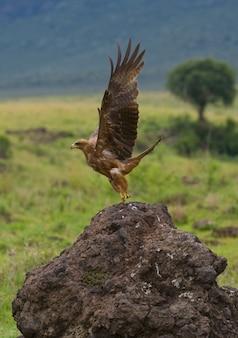 Ptak drapieżny w locie kenia tanzania safari afryka wschodnia