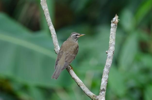 Ptak drozda z brwiami (turdus zaciemnia)