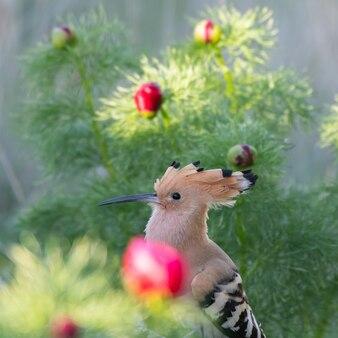 Ptak dudek upupa epops, na wolności.
