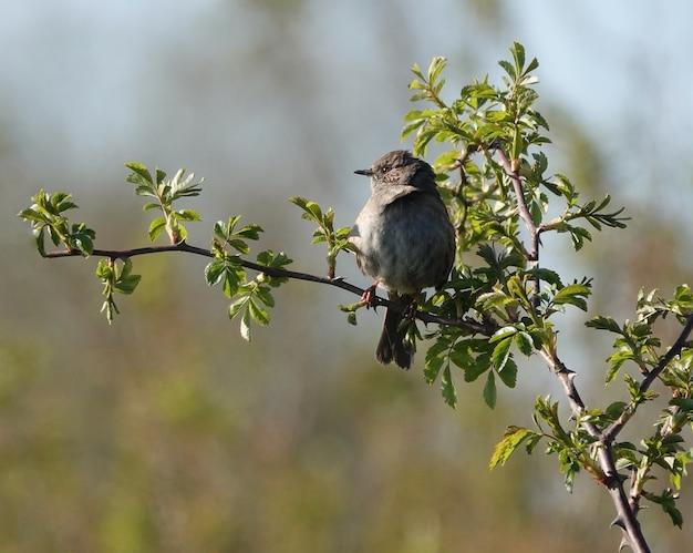 Ptak dunnock spoglądający w dal, stojąc na wąskiej gałęzi drzewa