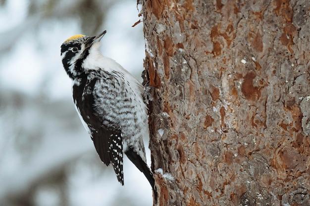 Ptak dzięcioł trójpalczasty na drzewie w parku narodowym oulanka, finlandia