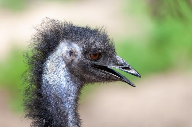 Ptak emu, dromaius novaehollandiae.