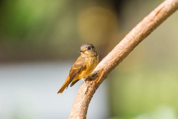 Ptak (ferruginous flycatcher, muscicapa ferruginea) brązowy cukier, kolor pomarańczowy i czerwony