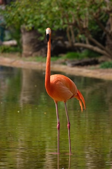 Ptak flaminga amerykańskiego (phoenicopterus ruber)