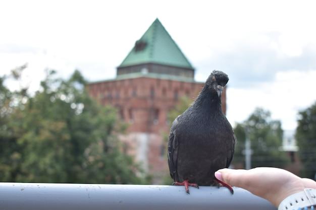 Ptak gołąb w tle budynku