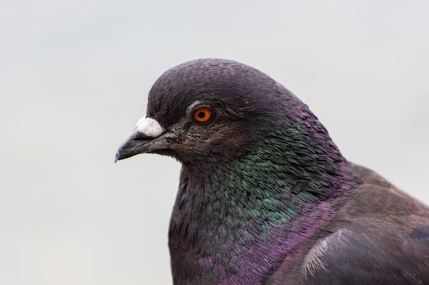 Ptak gołąb z wielobarwnymi piórami bliska gołębia