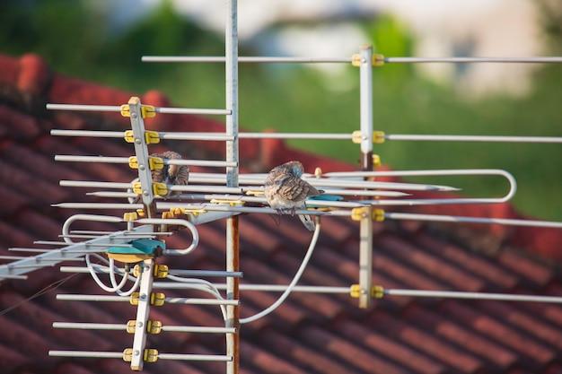 Ptak gołąb zebry (geopelia striata) łapie w naturze z domkiem na dachu antena telewizyjna
