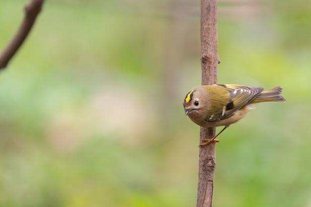 Ptak goldcrest regulus regulus na wolności.