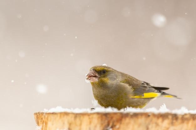Ptak greenfinch carduelis chloris siedzący na pniu zimą, śnieg.