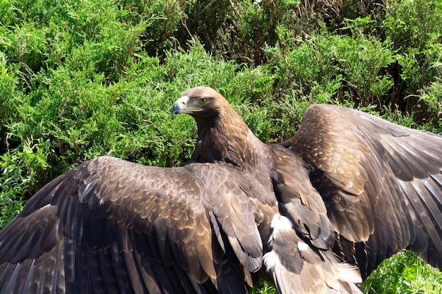Ptak jastrząb z rozpostartymi skrzydłami we wzór piór na tle zielonej roślinności dzikich zwierząt i...