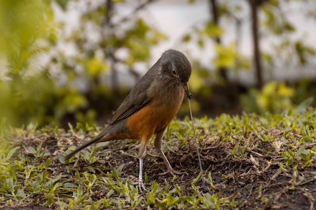 Ptak jedzący dżdżownicę w ogrodzie