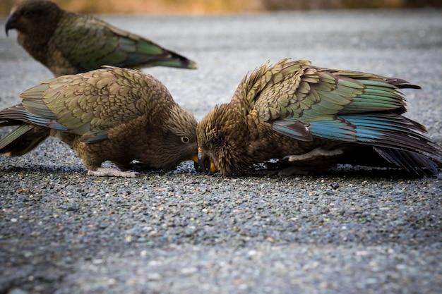 Ptak kea, papugi ziemne na wyspie południowej w nowej zelandii