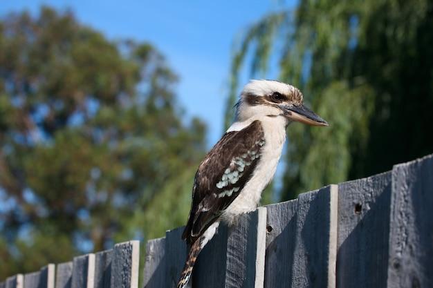 Ptak kookaburra prześciga