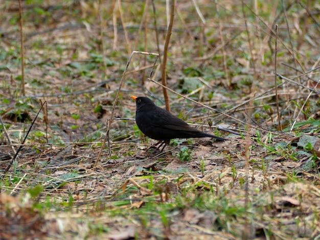 Ptak kos z pomarańczowym dziobem przechadza się po wiosennym lesie w poszukiwaniu pożywienia