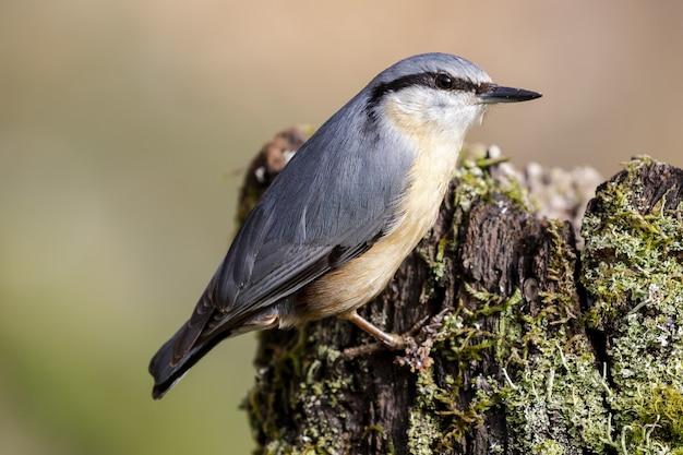 Ptak kowalik stojący na drewnie w lesie