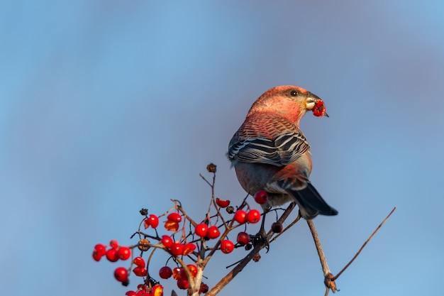 Ptak krzyżodziób czerwony jedzenie na gałęzi drzewa