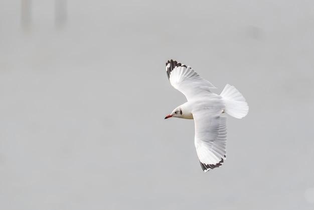 Ptak (laridae, chroicocephalus brunnicephalus) biały i szary kolor latający na niebie