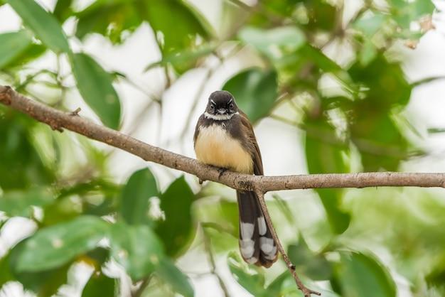 Ptak (malezyjski pied fantail, rhipidura javanica) czarno-biały kolor