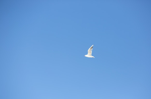 Ptak morski - mewa lecąca na tle błękitnego nieba, zbliżenie, widok z dołu