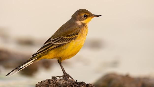 Ptak motacilla flava, pliszka żółta, europa z bliska.
