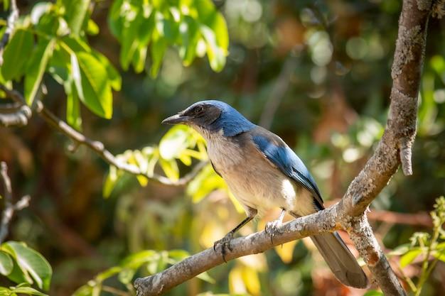 Ptak o niebieskim upierzeniu z gatunku aphelocoma califrnica pozujący na drzewie pośrodku