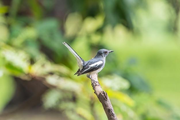 Ptak (orientalna sroka-robin lub copsychus saularis) żeński czarno-biały kolor