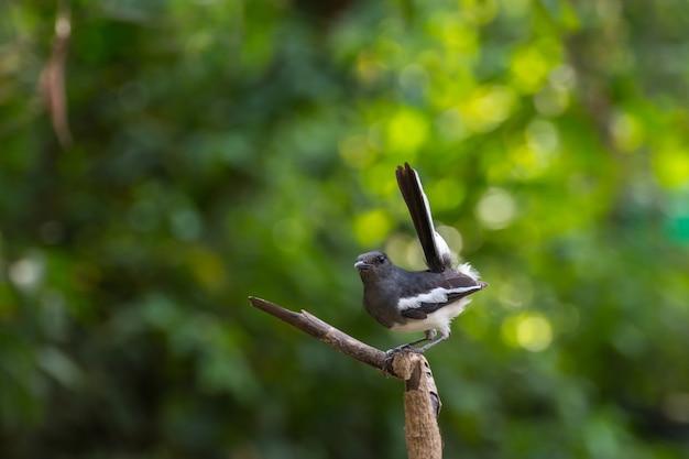 Ptak (orientalny sroka-robin lub copsychus saularis) męski czarno-biały kolor